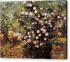 Rosebush In Blossom Acrylic Print