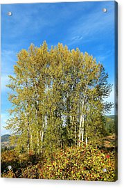 Rosehips And Cottonwoods Acrylic Print