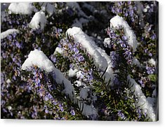 Rosemary Snow Eclairs Acrylic Print