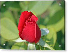 Roses Are Red Acrylic Print by Dawn Davis