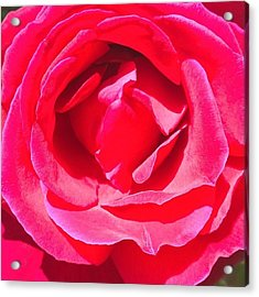 #roses Are #red ...#violets Are #blue Acrylic Print