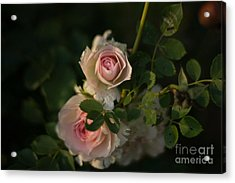 Roses At Sunset Acrylic Print by Lisa Phillips