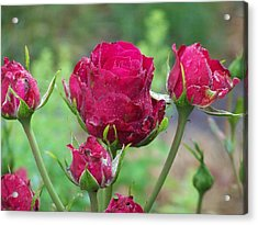 Roses Budding Acrylic Print by Laurie Kidd