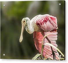 Acrylic Print featuring the photograph Rosette Spoonbill Wings by Paula Porterfield-Izzo