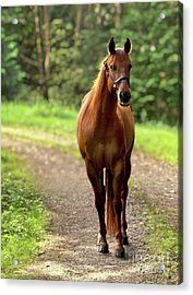 Rosey On The Road Acrylic Print