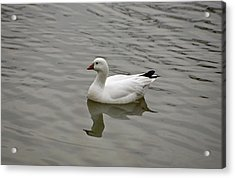 Acrylic Print featuring the photograph Ross's Goose by Sandy Keeton