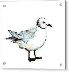 Ross's Gull Acrylic Print