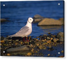 Ross's Gull Acrylic Print by Tony Beck
