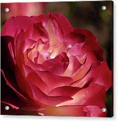 Rosy Closeup Acrylic Print