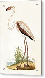 Rosy Flamingo Acrylic Print by English School