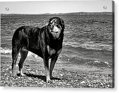 Rottweiler At The Shore Acrylic Print by Olivier Le Queinec