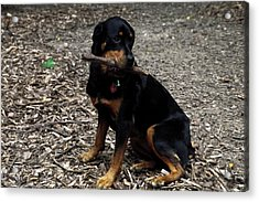 Rottweiler Dog Holding Stick In Mouth Acrylic Print by Sally Weigand