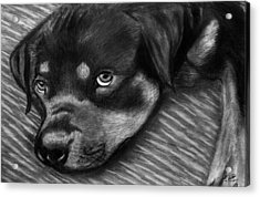 Rotty Acrylic Print by Peter Piatt