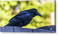 Acrylic Print featuring the photograph Rough Crow  by Jonny D