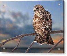 Rough Legged Hawk Acrylic Print