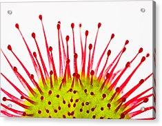 Acrylic Print featuring the photograph Round-leaved Sundew Drosera Rotundifolia by Gabor Pozsgai