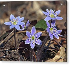 Round-lobed Hepatica Dspf116 Acrylic Print