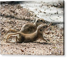 Round-tailed Ground Squirrels  0198-051917-cr Acrylic Print by Tam Ryan