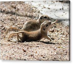 Round-tailed Ground Squirrels  0199-051917 Acrylic Print by Tam Ryan