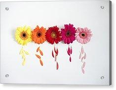 Row Of Gerbera Daisies On White Background Acrylic Print