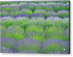 Rows Of Lavender Acrylic Print by Hegde Photos
