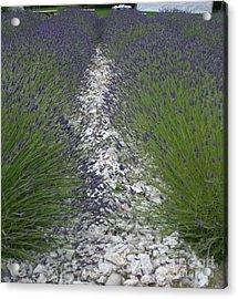 Rows Of Lavender Acrylic Print by Robert Torkomian