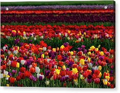 Acrylic Print featuring the photograph Rows Of Tulips by Susan Candelario