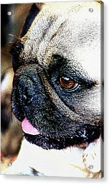 Roxy The Pug Acrylic Print