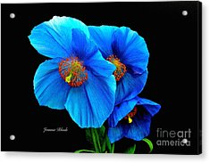 Royal Blue Poppies Acrylic Print by Jeannie Rhode