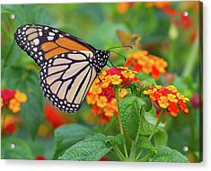Royal Butterfly Acrylic Print