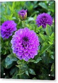 Royal Dahlia Delight Acrylic Print