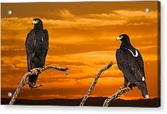 Royal Flush - African Black Eagles Acrylic Print by Basie Van Zyl