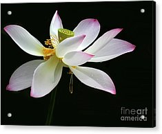 Royal Lotus Acrylic Print by Sabrina L Ryan