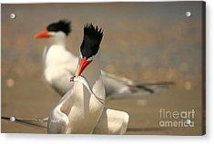 Royal Tern Catch Acrylic Print