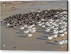 Royal Terns At Sebastian Inlet In Florida Acrylic Print by Allan  Hughes