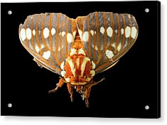 Royal Walnut Moth On Black Acrylic Print