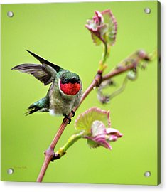 Acrylic Print featuring the photograph Ruby Garden Hummingbird by Christina Rollo
