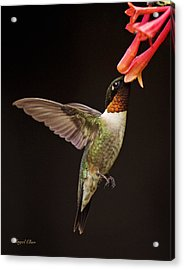 Acrylic Print featuring the photograph Ruby Male by Angel Cher