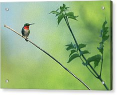 Ruby Red Perch Acrylic Print