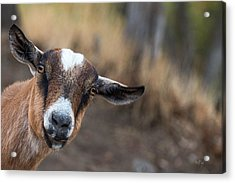 Ruby The Goat Acrylic Print by Everet Regal