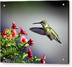 Ruby Throated Hummingbird #1 Acrylic Print