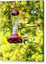 Ruby-throated Hummingbird 2 Acrylic Print