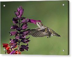 Ruby Throated Hummingbird At Purple Salvia Flower Acrylic Print