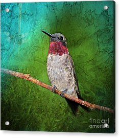 Ruby Throated Hummingbird Acrylic Print by Betty LaRue