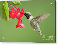 Ruby Throated Hummingbird Feeding On Begonia Acrylic Print by Bonnie Barry