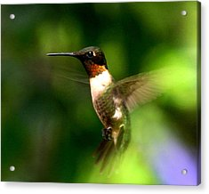 Ruby-throated Hummingbird Acrylic Print by Fred Baird
