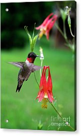 Acrylic Print featuring the photograph Ruby-throated Hummingbird  Looking For Food by Dan Friend