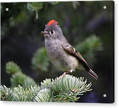 Rubycrowned Kinglet Acrylic Print by Doug Lloyd