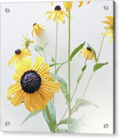 Acrylic Print featuring the photograph Rudbeckia 1 by Cindy Garber Iverson
