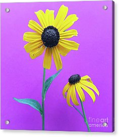 Acrylic Print featuring the photograph Rudbeckia 3 by Cindy Garber Iverson